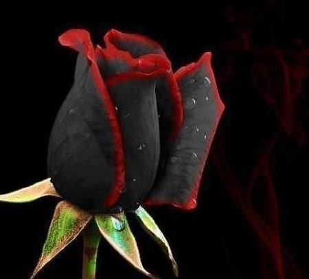 Black Rose Seeds 100pcs with Red Trims Home and Graden Flower Seeds Rose Osiria