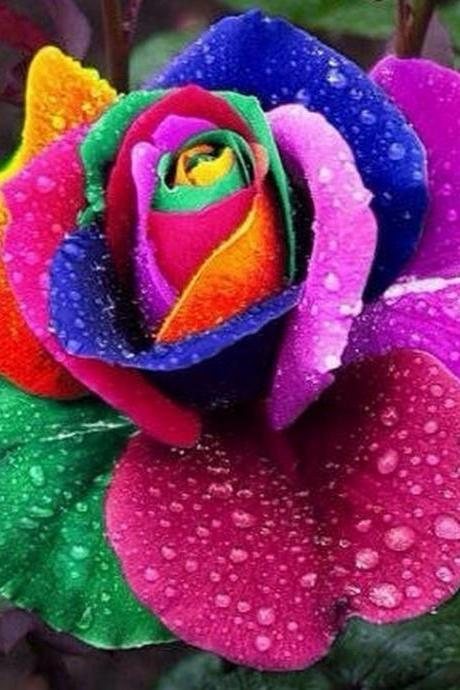100 Rainbow Rose Seeds Flower Garden 100 Rainbow Colored Rose